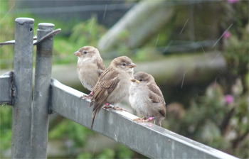 Sparrow fledglings perching on a fence