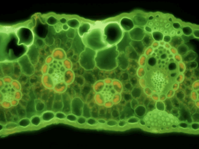Grass Leaf Cross Section