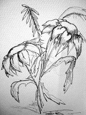 Sunflowers, pencil sketch