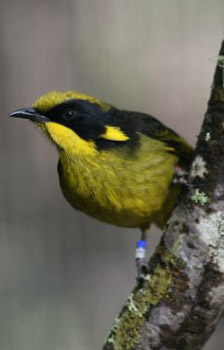 A helmeted honeyeater
