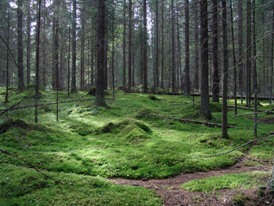 Photograph of pine forest in Finland