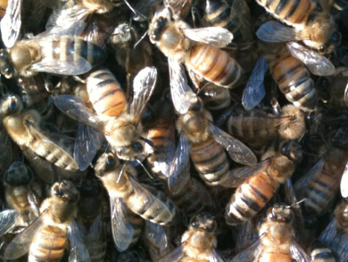 A closeup of a bee colony