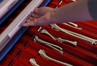 Animal bones sorted in a drawer