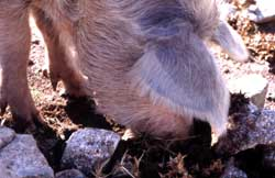 Ecology & Evolution - Pig-ethnography - Research
