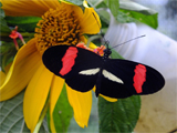 A brightly coloured species of butterfly