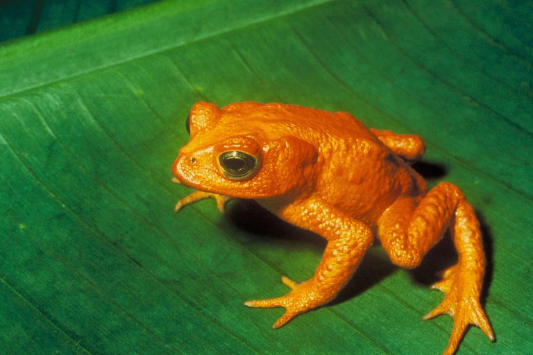 Bufo Periglenes, the Golden Toad
