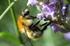 Photograph of bumblebee