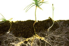 Photo of root-mycorrhizal interaction