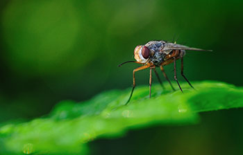Image - Fruit fly (Drosophila)