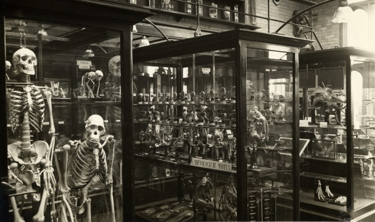 Human and ape skeletons in the zoology museum