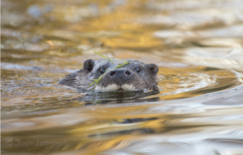 An otter peeping out of the water