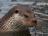 Otter, by Elliot Smith
