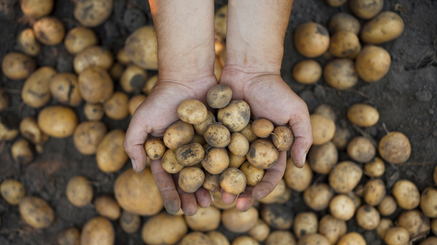 A pair of hands holding freshly harvested potatoes