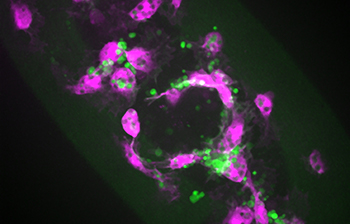 Fly macrophages responding to wound in presence of apoptosis