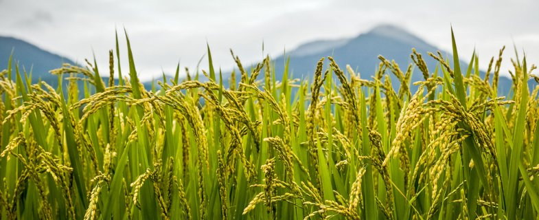 Green field of rice