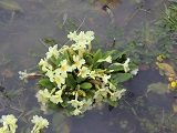 Flooded Primula plant