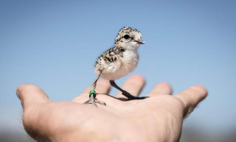A Plover chick