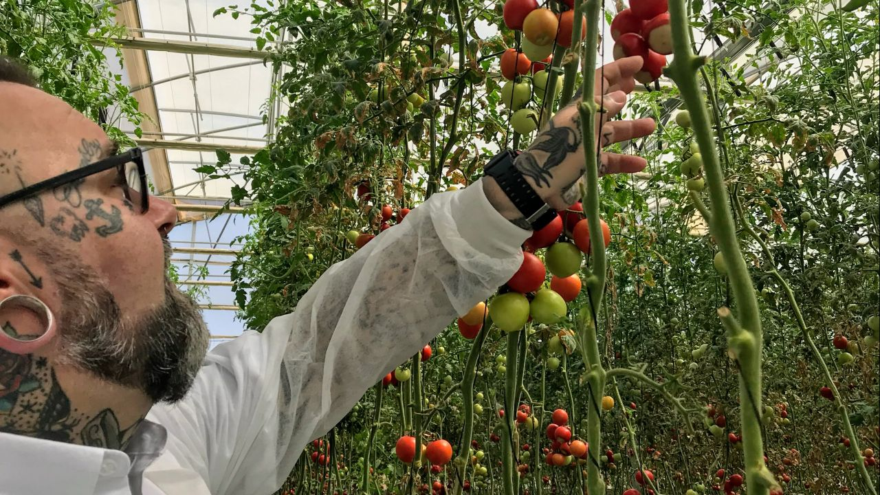 Professor Duncan Cameron inspecting tomatoes in a large greenhouse