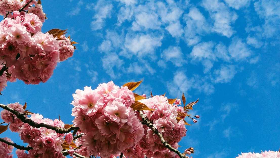 An image of pink blossom and sky