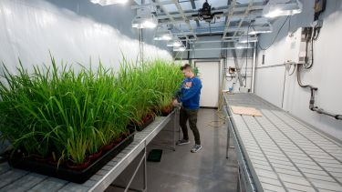 student tends tall grass in greenhouse space