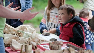 A young boy is fascinated by a collection of animal bones at an exhibition.