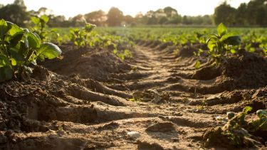 Ploughed soil in a field of crops