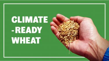 climate wheat benner image