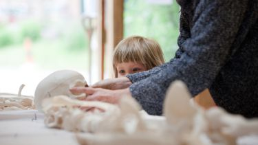 A child looking at a skull at the Woodland Heritage Festival