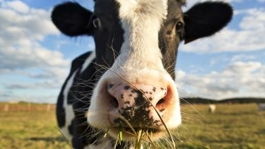 Picture of a cow close up with grass in it's mouth