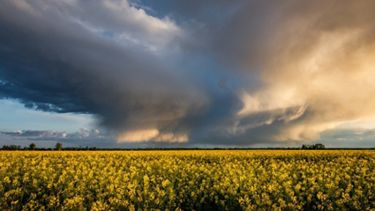 Crops in a field below a brewing thunder storm.
