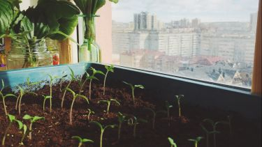 Tomato seedlings growing at home In the city. They are growing in a tray next to a window which overlooks a city urban area.