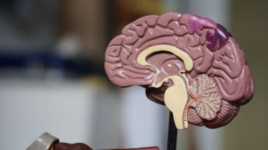 A plastic model of the brain anatomy