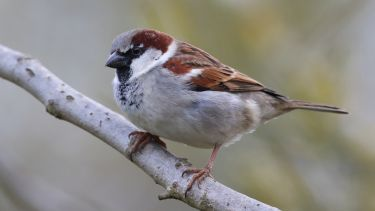 House sparrow on a branch.