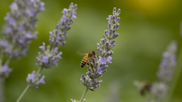 A honey bee on some lavender flowers