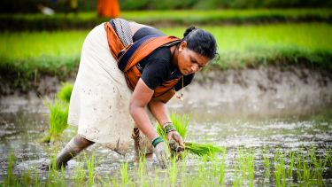 An Indian farmer plants rice by hand. The woman is bending over in a rice field to plant the saplings. She is wearing traditional clothing.